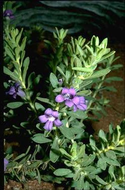 APII jpeg image of Eremophila hygrophana  © contact APII