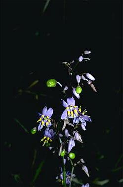APII jpeg image of Dianella caerulea  © contact APII