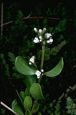 APII jpeg image of Logania ovata  © contact APII
