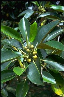 Foto blog de nacho san miguel arboles ornamentales de for Hojas ornamentales
