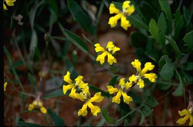APII jpeg image of Goodenia glabra  © contact APII