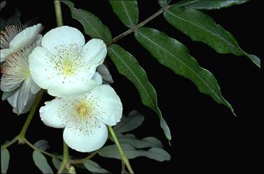 APII jpeg image of Eucryphia moorei  © contact APII