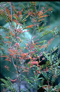 APII jpeg image of Nothofagus cunninghamii  © contact APII