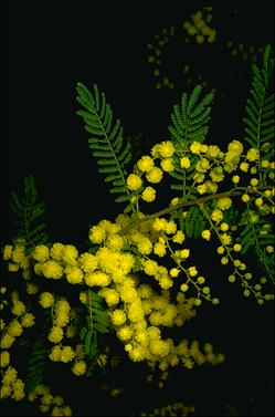 APII jpeg image of Acacia cardiophylla  © contact APII
