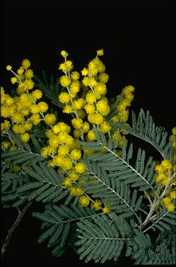 APII jpeg image of Acacia dealbata  © contact APII
