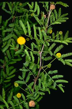 APII jpeg image of Acacia farnesiana  © contact APII