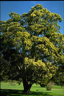 APII jpeg image of Acacia melanoxylon  © contact APII