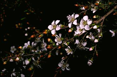APII jpeg image of Leptospermum myrsinoides  © contact APII
