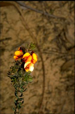 APII jpeg image of Pultenaea humilis  © contact APII