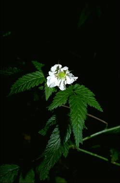 APII jpeg image of Rubus rosifolius  © contact APII