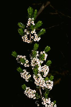 APII jpeg image of Thryptomene calycina  © contact APII