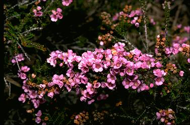 APII jpeg image of Thryptomene racemulosa  © contact APII