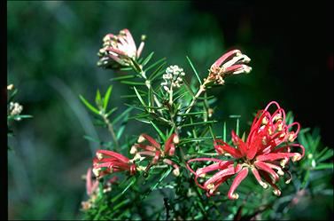 APII jpeg image of Grevillea 'Poorinda Adorning'  © contact APII