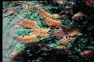 APII jpeg image of Grevillea 'Poorinda Blondie'  © contact APII