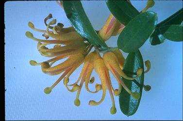 APII jpeg image of Grevillea 'Poorinda Golden Lyre'  © contact APII