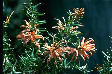 APII jpeg image of Grevillea 'Poorinda Queen'  © contact APII