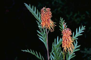 APII jpeg image of Grevillea 'Poorinda Silver Sheen'  © contact APII
