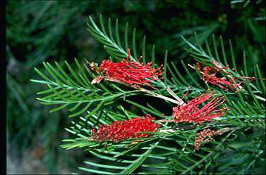 APII jpeg image of Grevillea 'Red Hooks'  © contact APII
