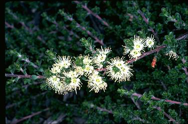 APII jpeg image of Kunzea 'Badja Carpet'  © contact APII