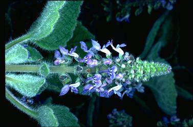 APII jpeg image of Plectranthus graveolens 'Bennelong Frosty Carpet'  © contact APII