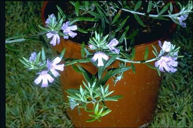 APII jpeg image of Westringia 'Wynyabbie Gem'  © contact APII