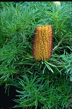APII jpeg image of Banksia spinulosa 'Birthday Candles'  © contact APII