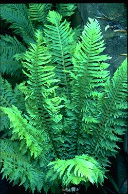 APII jpeg image of Blechnum nudum 'Forcett Feather'  © contact APII