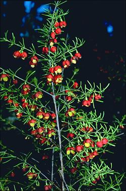 APII jpeg image of Boronia megastigma 'Jack Maguire's Red'  © contact APII