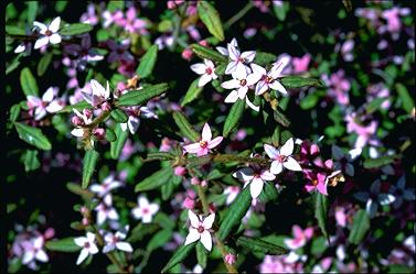 APII jpeg image of Boronia mollis 'Lorne Pride'  © contact APII
