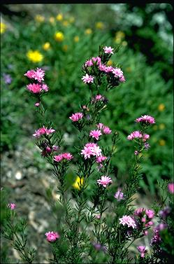 APII jpeg image of Boronia pilosa 'Rose Blossom'  © contact APII