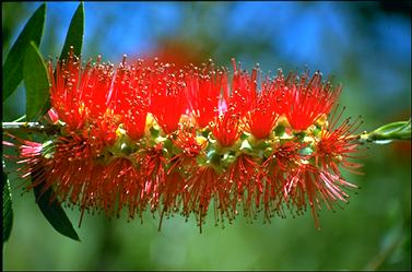 APII jpeg image of Callistemon 'Red Reika'  © contact APII