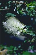 Callistemon 'White Anzac' - click for larger image