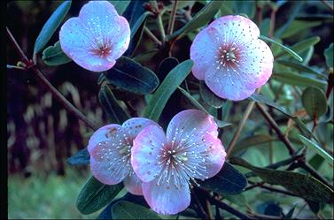 APII jpeg image of Eucryphia lucida 'Pink Cloud'  © contact APII