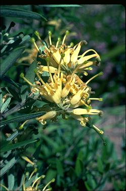APII jpeg image of Grevillea 'Canterbury Gold'  © contact APII