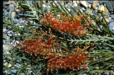 APII jpeg image of Grevillea 'Lyrebird'  © contact APII