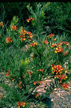 APII jpeg image of Grevillea 'Bonnie Prince Charlie'  © contact APII