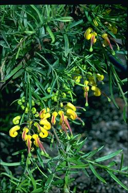 APII jpeg image of Grevillea 'Goldrush'  © contact APII