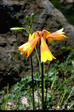 APII jpeg image of Blandfordia grandiflora  © contact APII