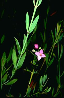 APII jpeg image of Boronia barkeriana subsp. angustifolia  © contact APII