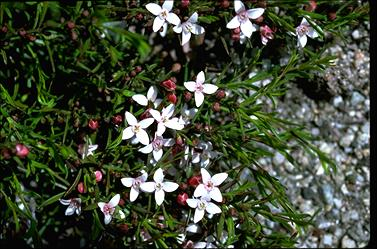APII jpeg image of Boronia nana var. hyssopifolia  © contact APII