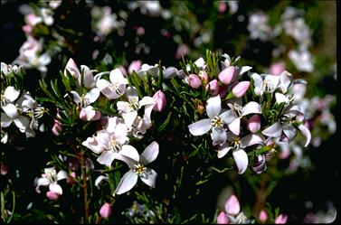 APII jpeg image of Boronia citriodora subsp. paulwilsonii  © contact APII