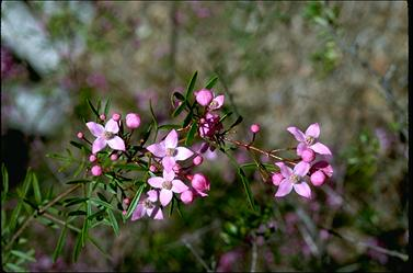 APII jpeg image of Boronia pinnata  © contact APII