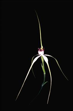 APII jpeg image of Caladenia patersonii  © contact APII