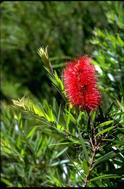 APII jpeg image of Callistemon 'Captain Cook'  © contact APII
