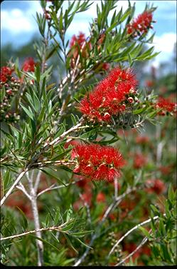APII jpeg image of Callistemon 'Hannah Ray'  © contact APII