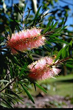 APII jpeg image of Callistemon 'Pink Champagne'  © contact APII