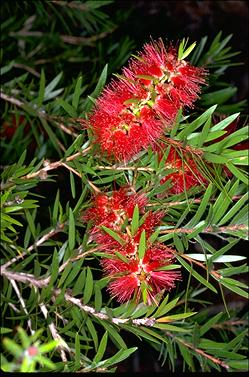 APII jpeg image of Callistemon viminalis 'Rose Opal'  © contact APII