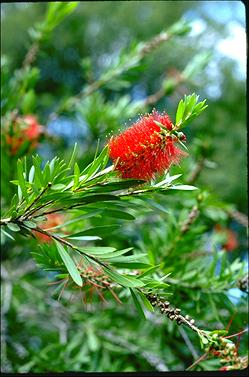 APII jpeg image of Callistemon pachyphyllus  © contact APII