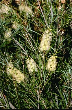 APII jpeg image of Callistemon sieberi  © contact APII