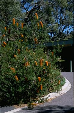 APII jpeg image of Banksia 'Giant Candles'  © contact APII